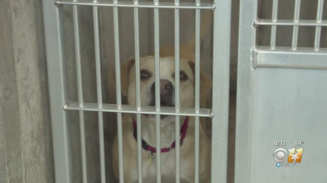 New Fort Worth Animal Shelter Already Full, In Desperate Need Of Fosters And Adopters