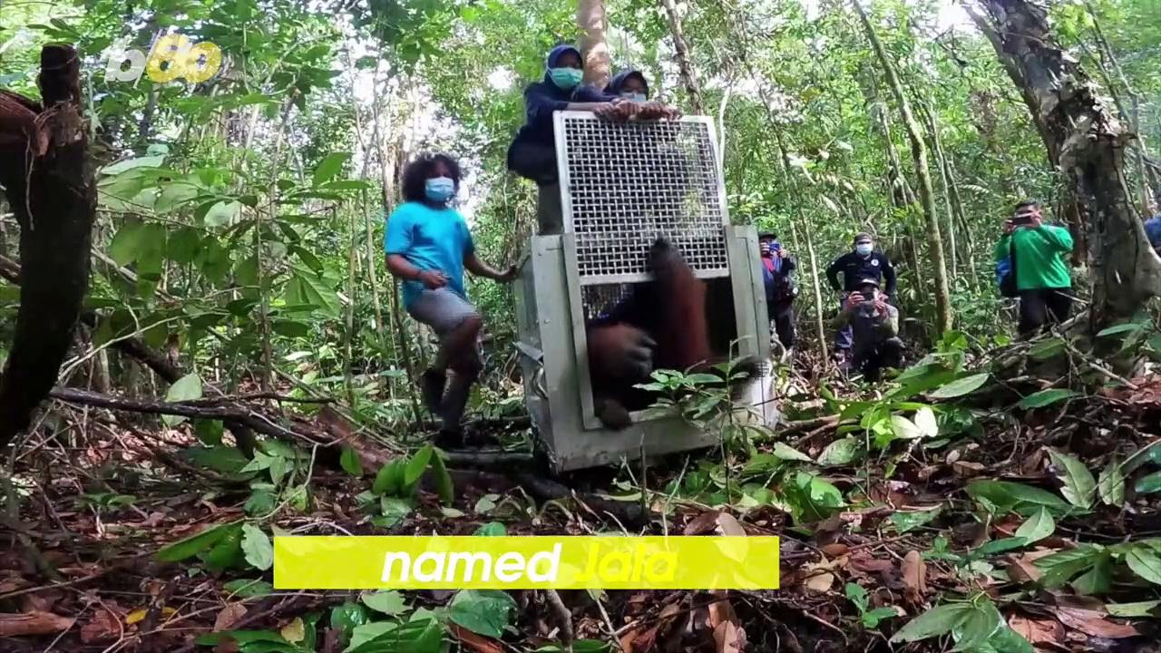 Critically Endangered Orangutan Released After Close Call With Humans