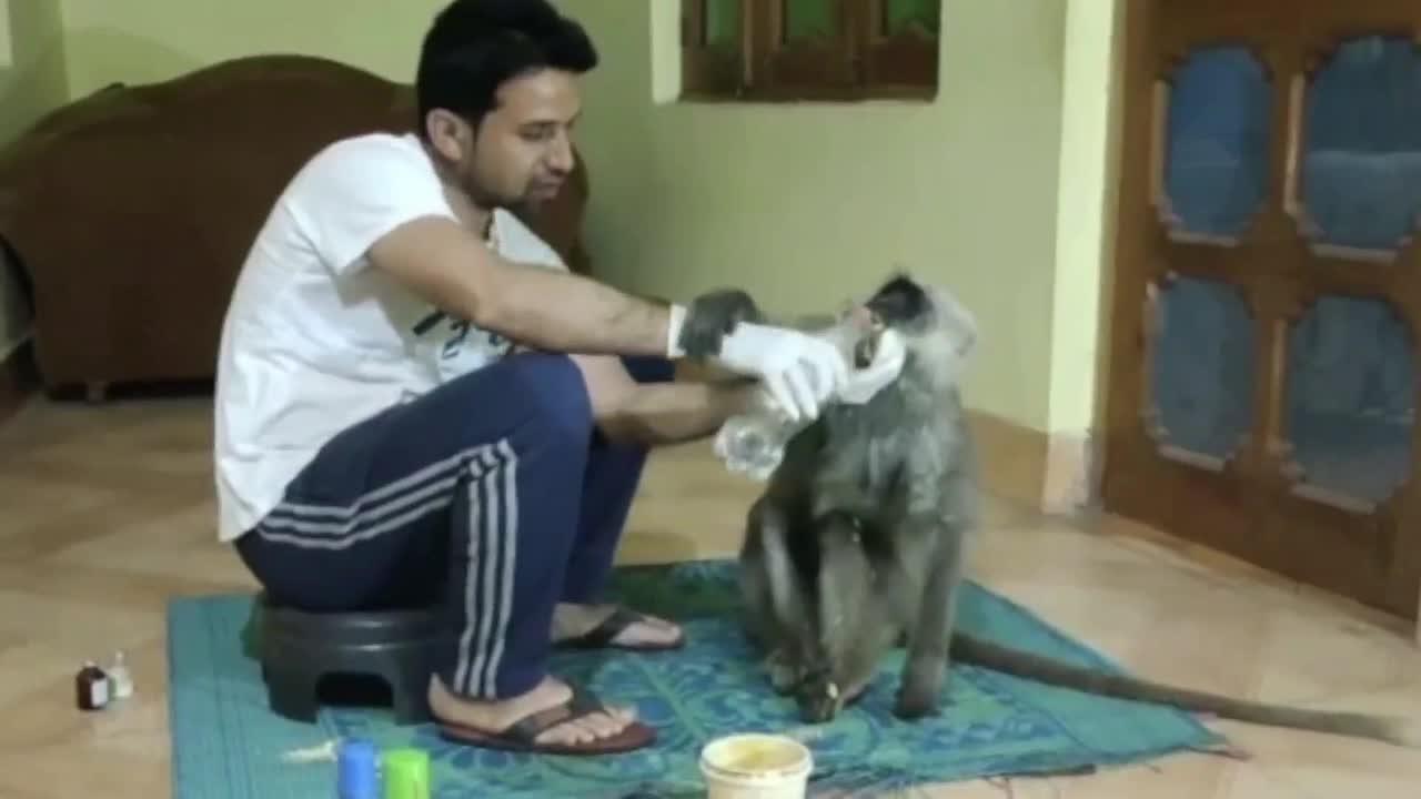Indian pharmacist takes care of injured monkey found on roadside