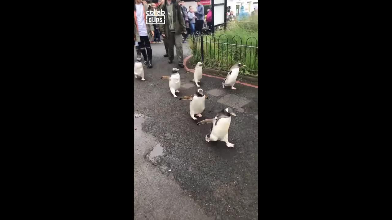 Adorable penguin leads rebellion of well-dressed birds at Edinburgh Zoo