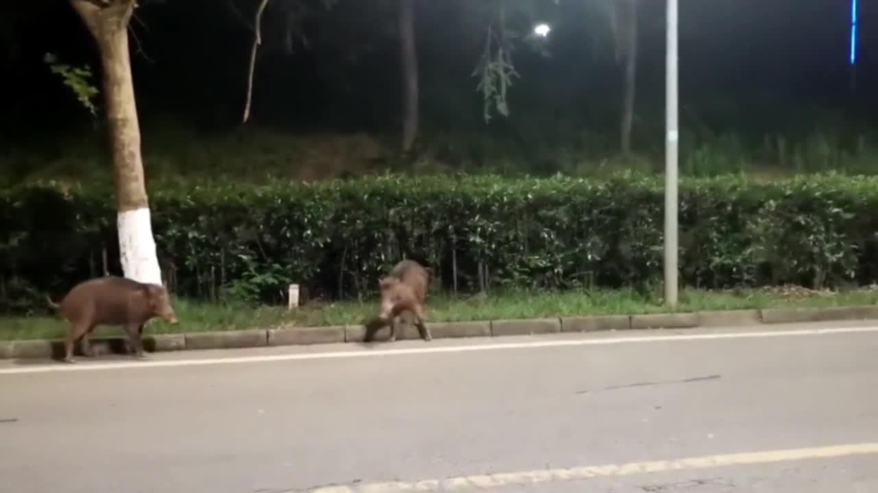 Wild boars spotted wandering around university campus in China