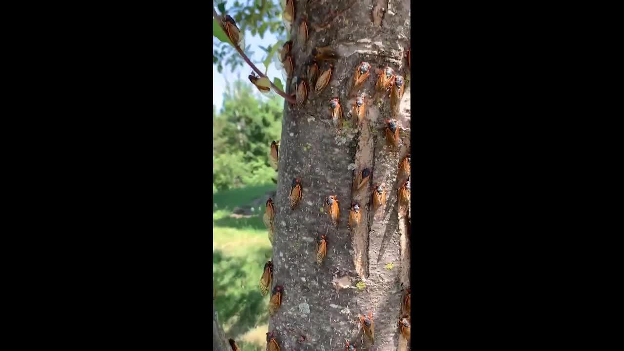 Brood X Cicadas invade the United States