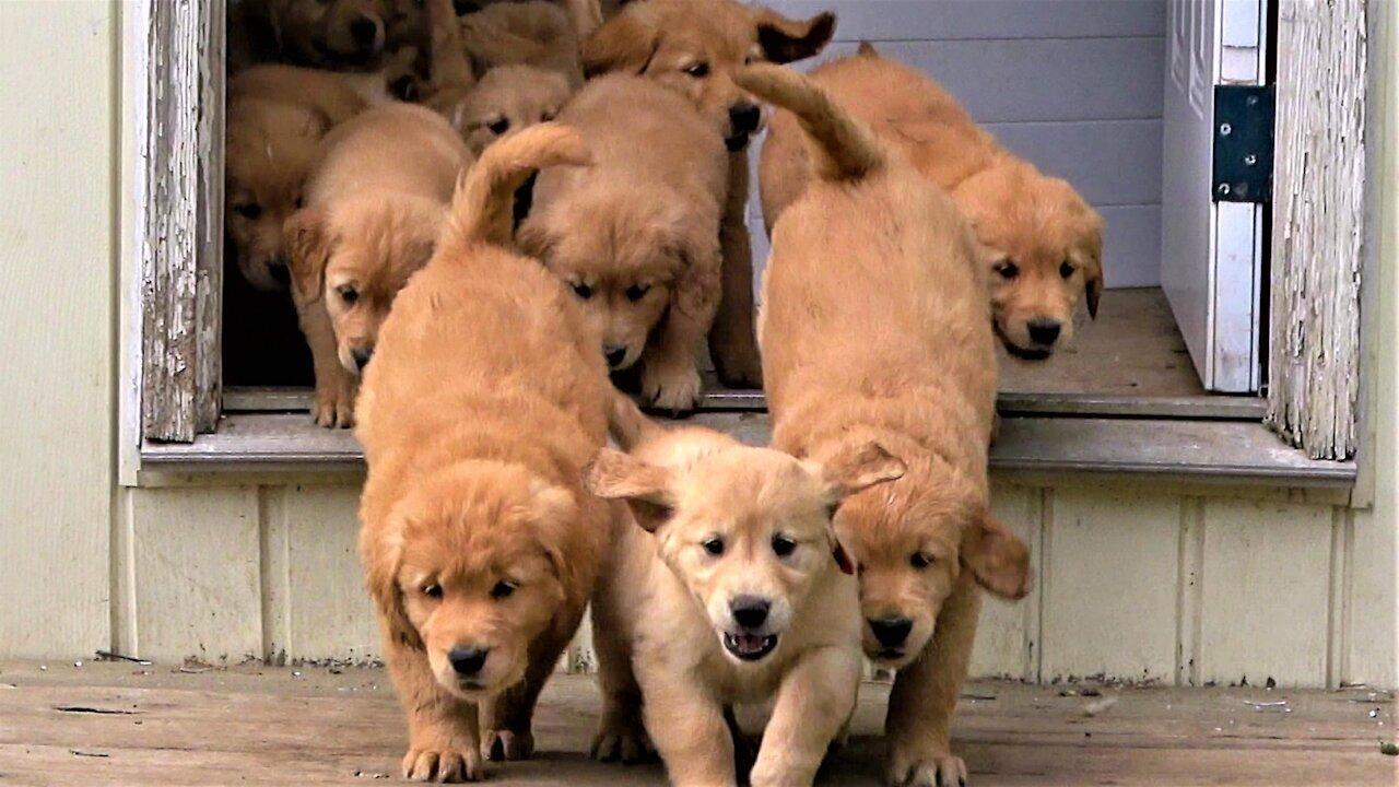 'River' of Golden Retriever Puppies Flow Into The Backyard