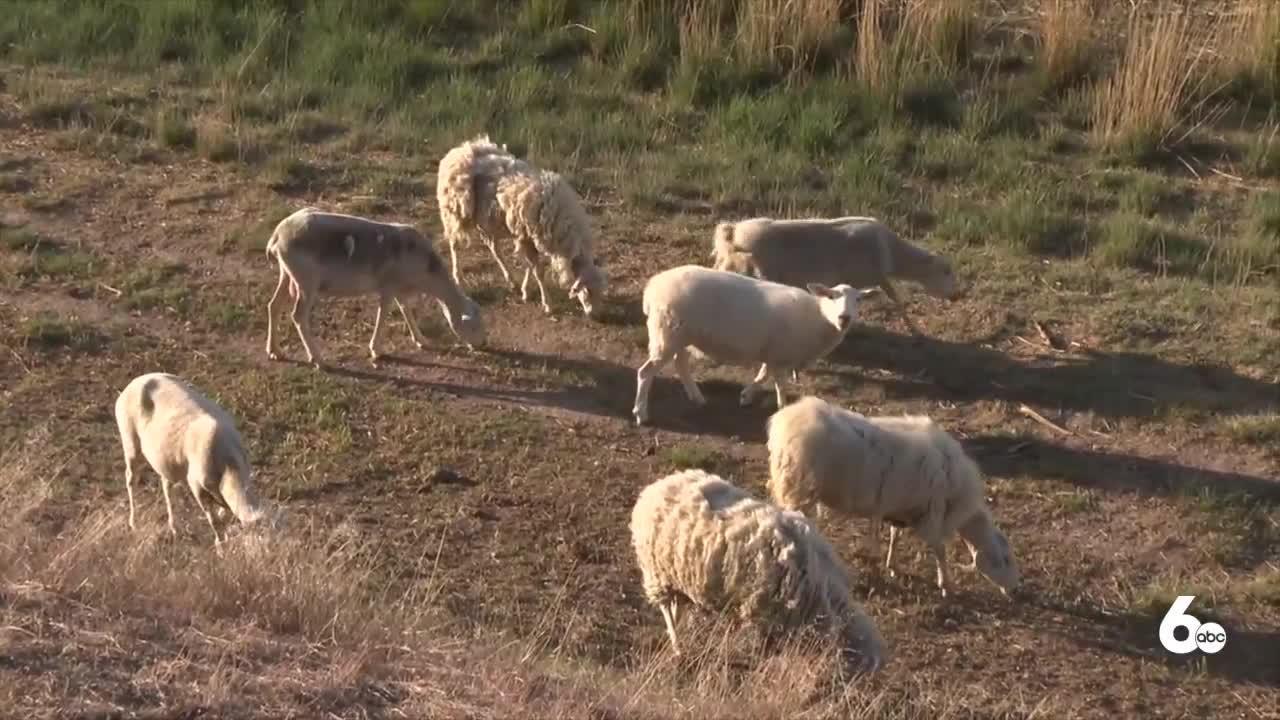 Magic Valley farmer loses 54 lambs after bald eagle attacks
