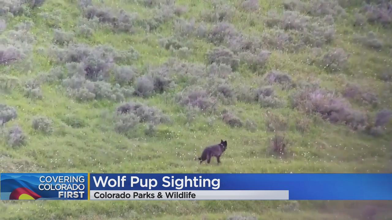 Wolf Pups Spotted In Colorado