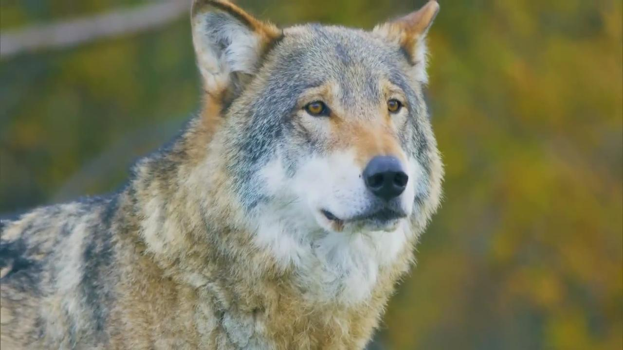 Wolf Pups Discovered In Colorado Ahead Of Wolf Reintroduction