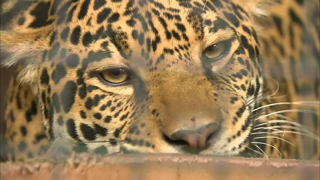 US zoo sets up meatball treasure hunt for hungry jaguars