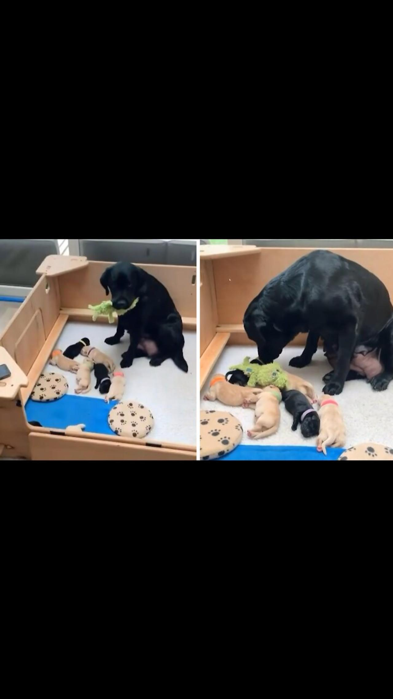 Lab mommy shares favorite toy with her puppies
