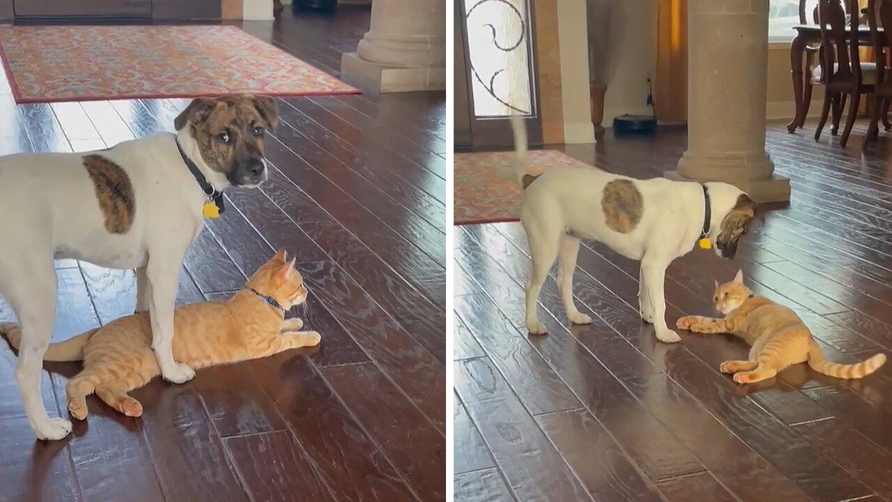 Puppy and kitten have been best friends since birth