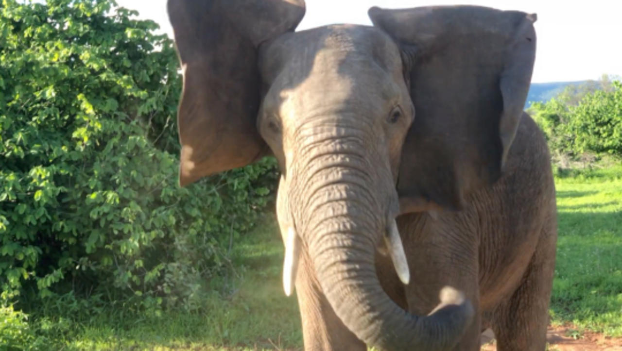 Video Captures a Couple Facing Elephant Intimidation on Safari in Zambia