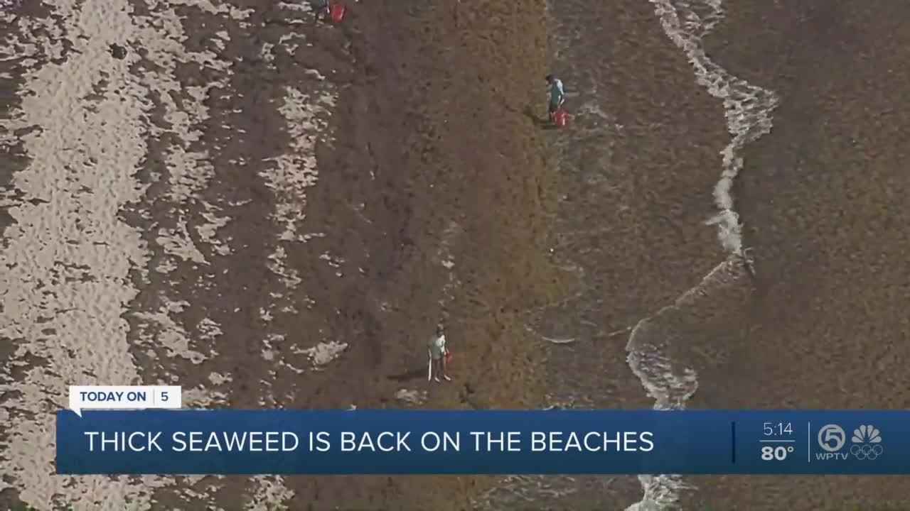 Seaweed invades Palm Beach