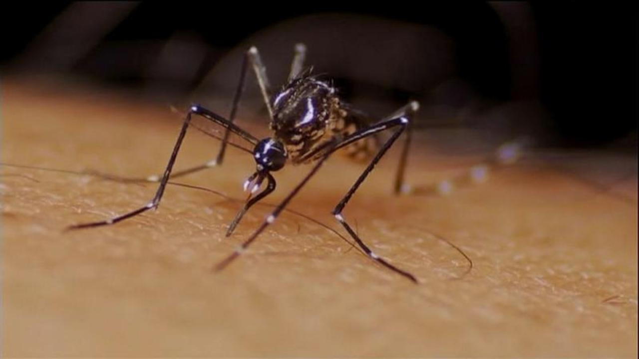 Inserting mosquitoes with bacteria reduces diseases such as dengue by 77%, study finds