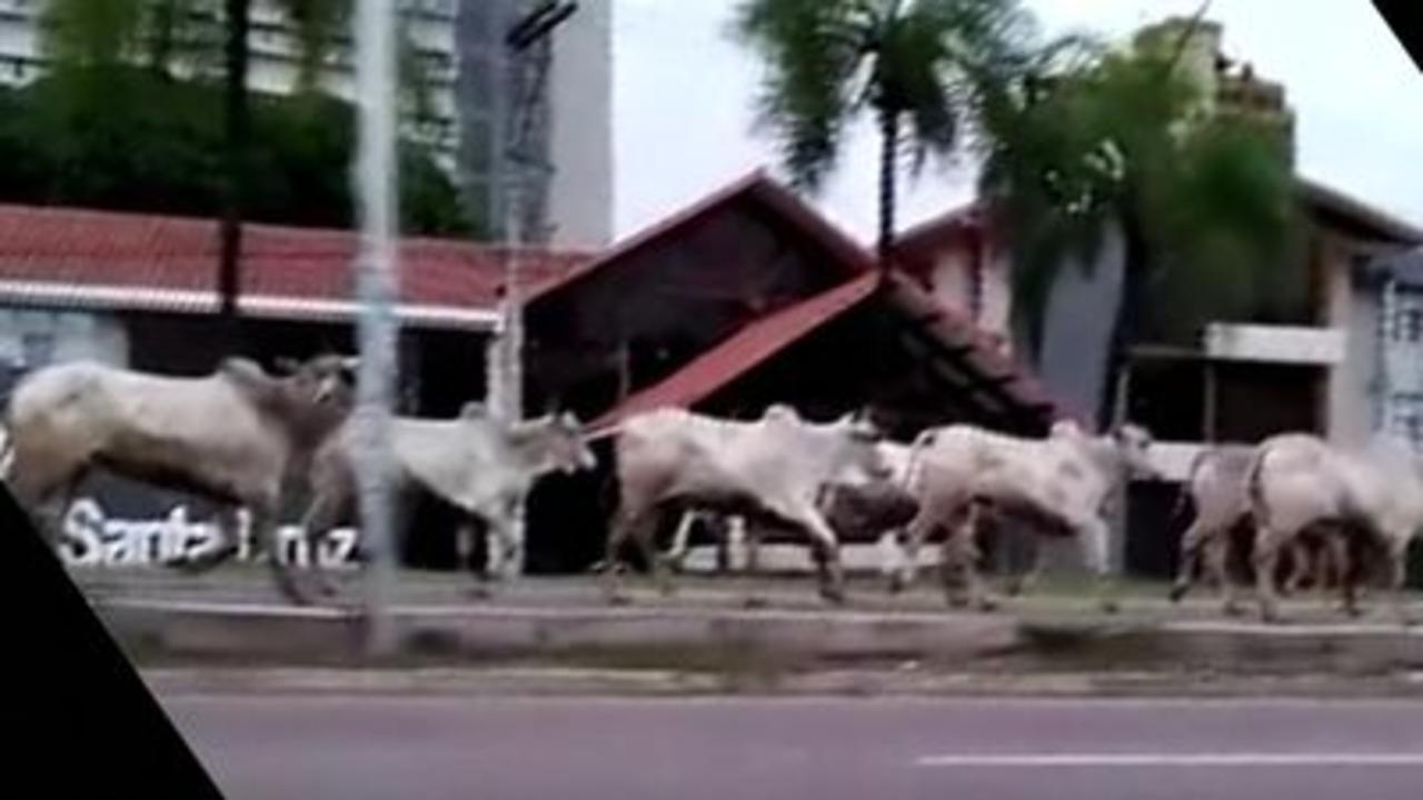 Cows on streets of Bolivian city 'could kill'