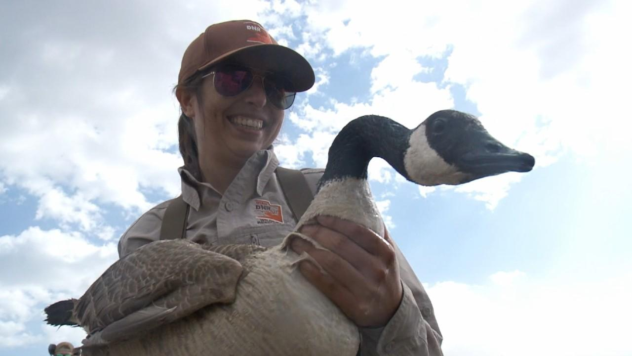 Utah's Division of Wildlife Resources rounding up geese