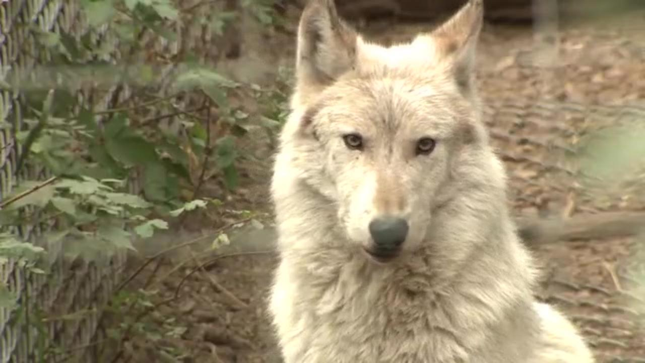 Colorado is now home to first wolf litter in 80 years