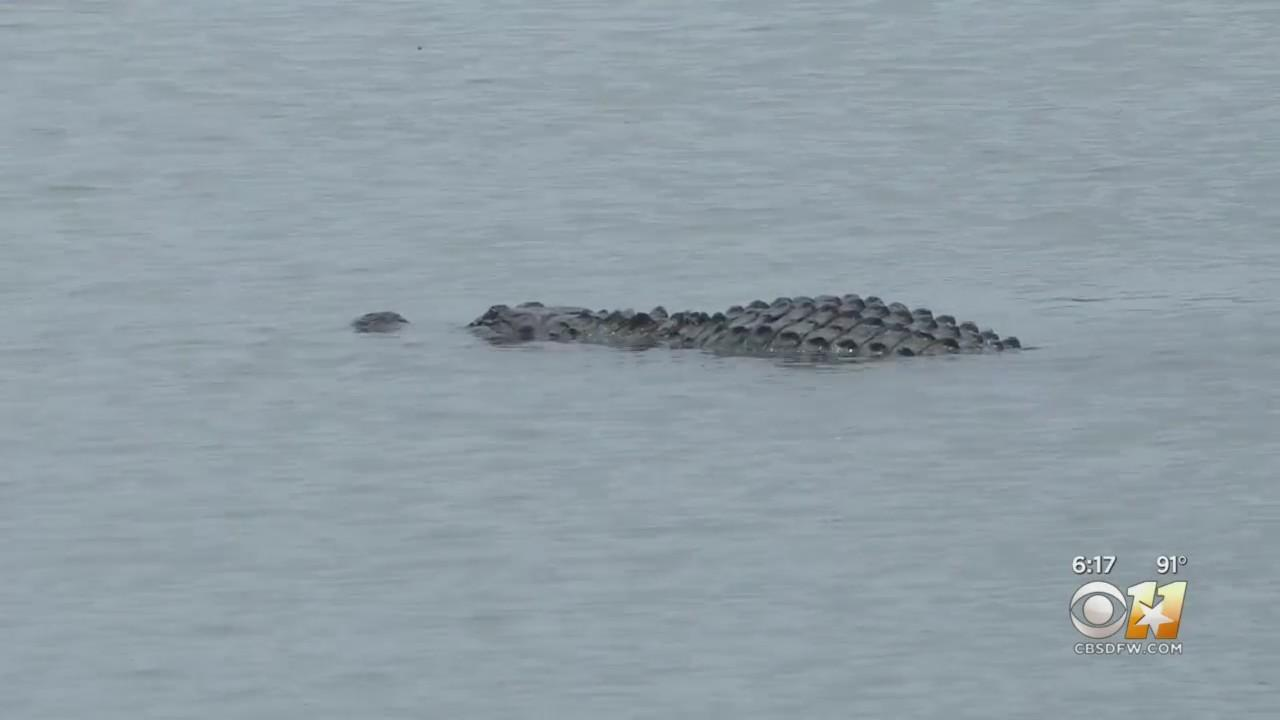 Alligator Sightings In Lakes In Tarrant And Denton Counties
