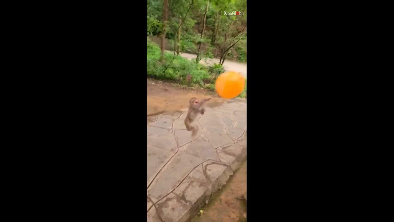 Monkey has time of its life playing with balloon before ultimately popping it