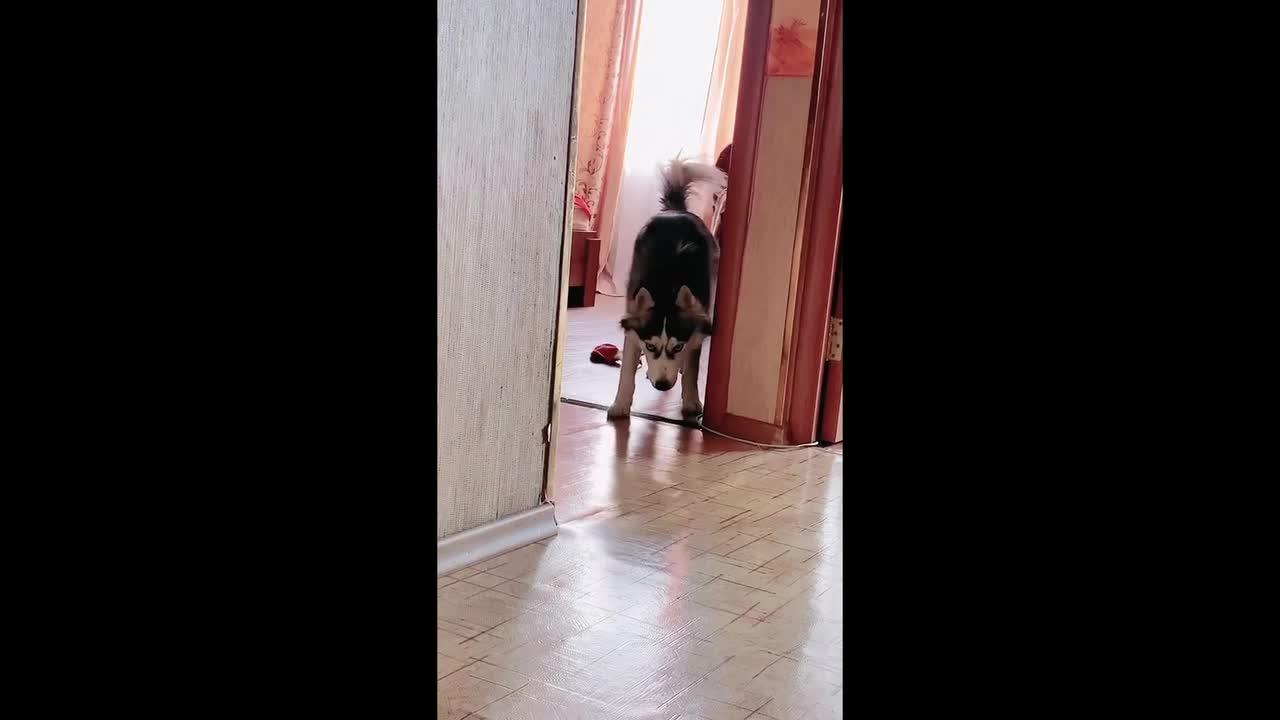 This husky's way of greeting owner involves slowly stalking her
