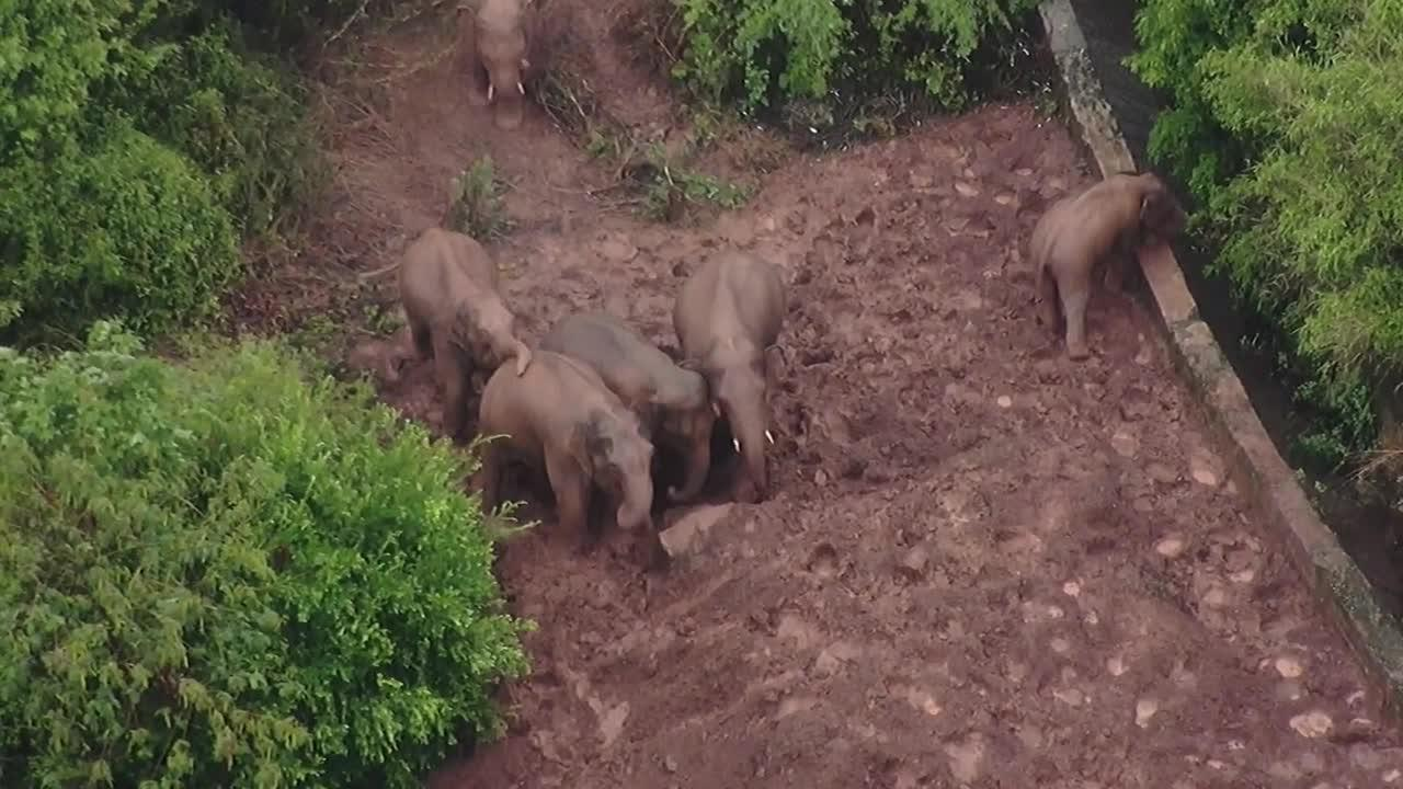 China's viral elephant herd stops to play around in muddy patch