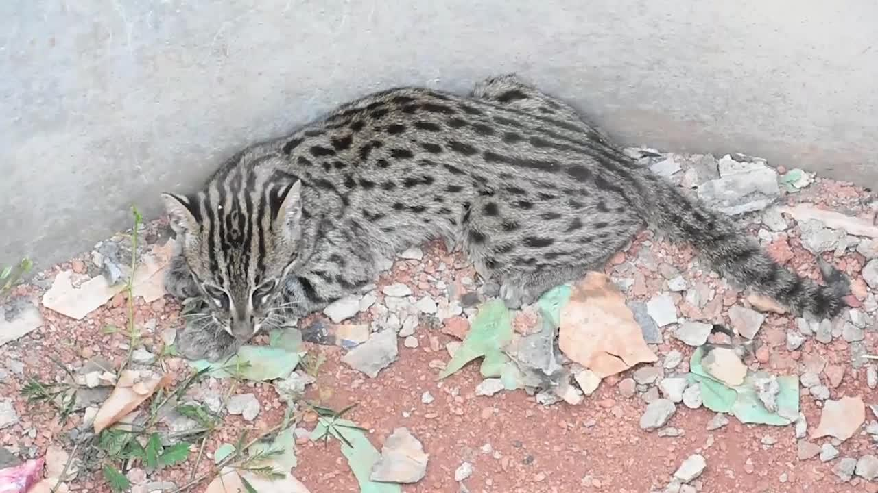Endangered fishing cat rescued after dropping into large cement pot in Sri Lanka