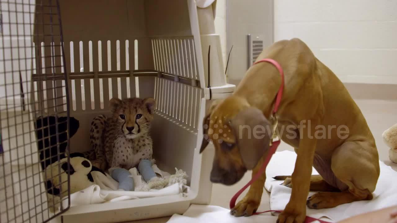 Puppy helps cheetah cub overcome genetic condition at US zoo