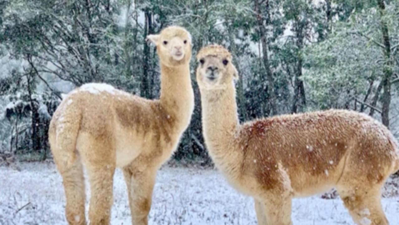 Alpacas Frolic in Rare Snowy Weather in Australia