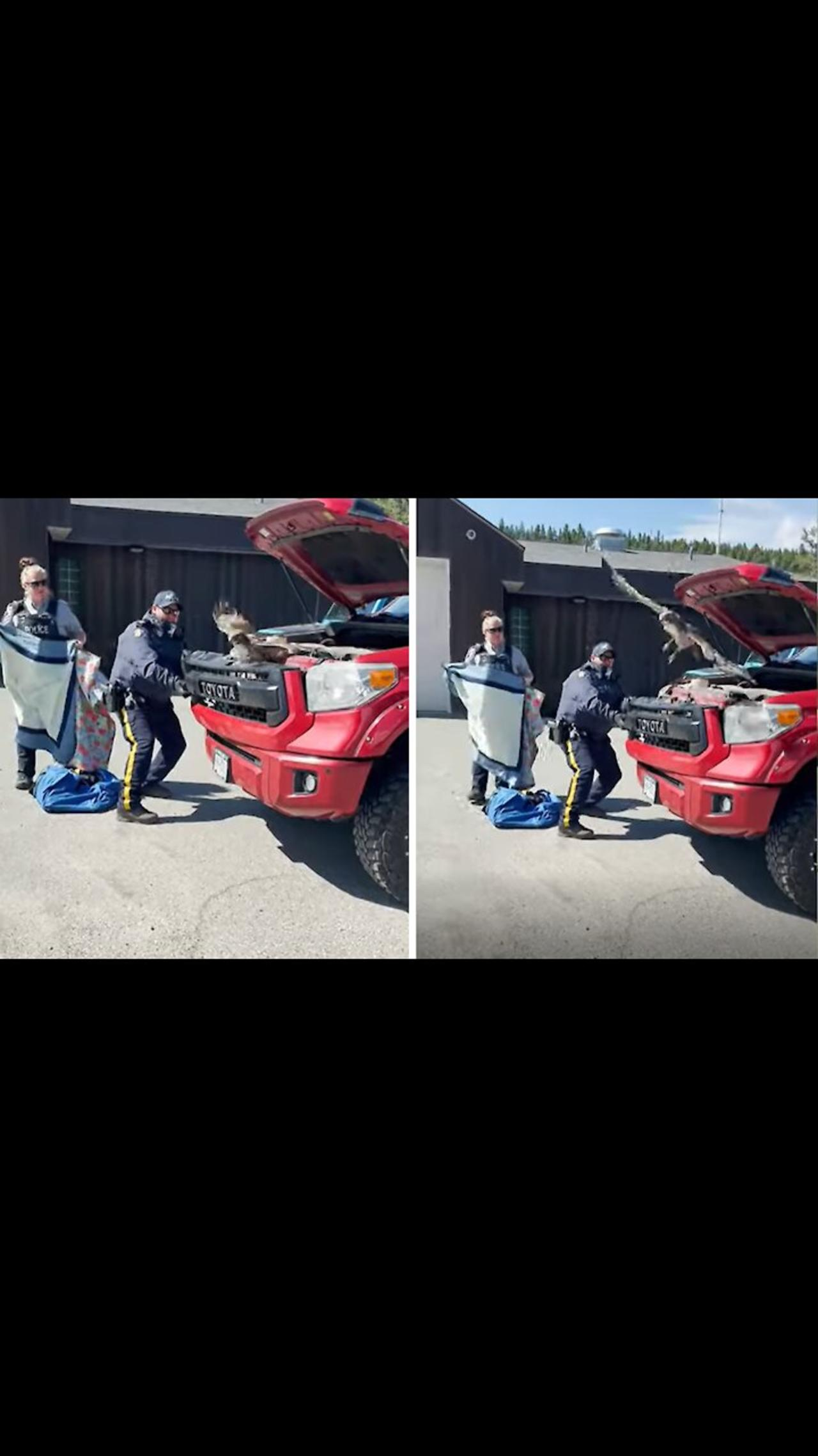 Mounties work together to free hawk trapped behind truck's grill