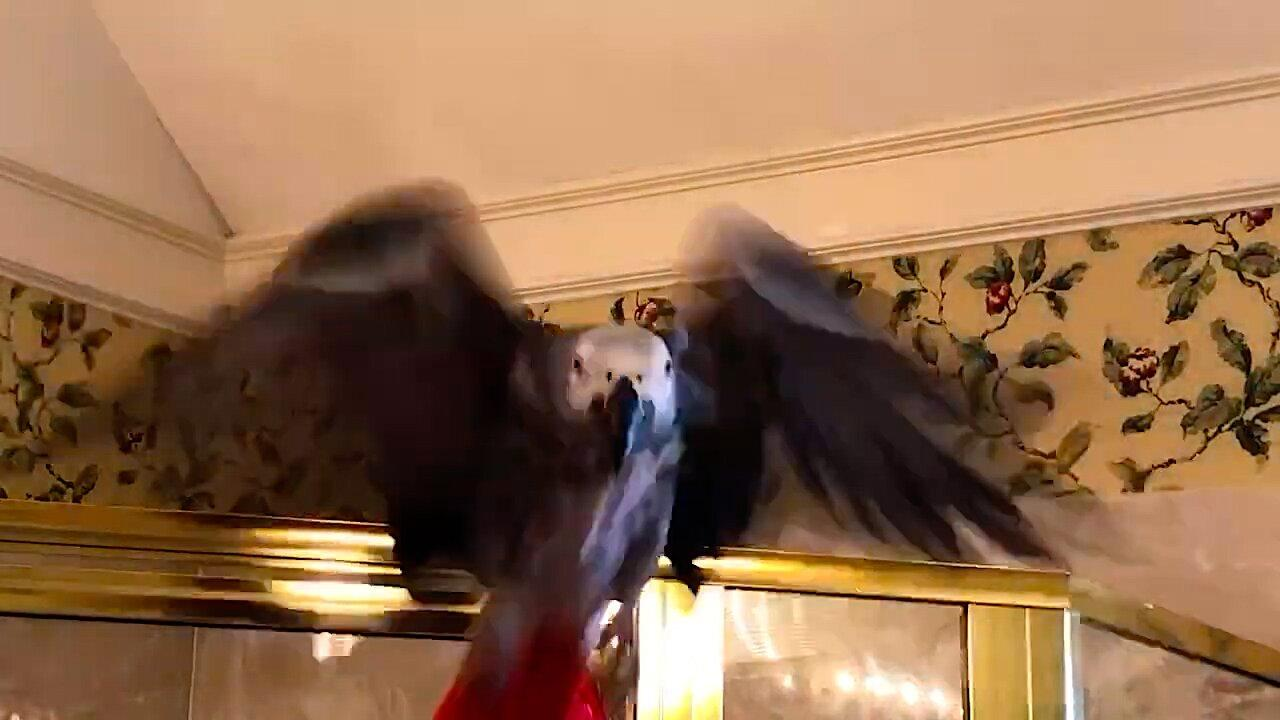 Talking parrot flies right at the camera to attack it
