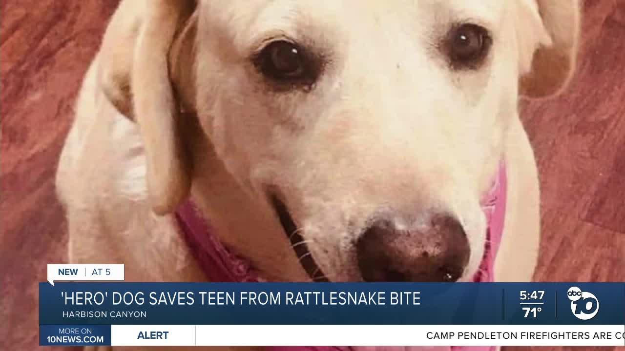 'Hero' dog saves East County teen from rattlesnake bite