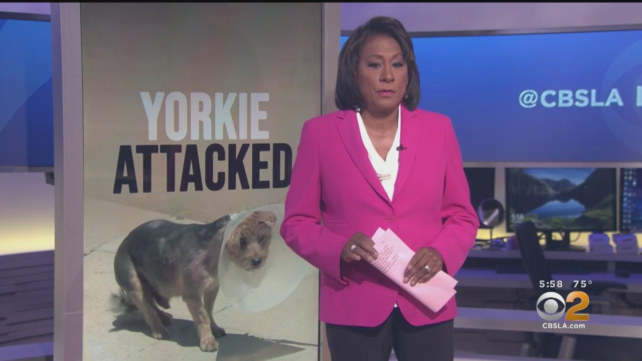 Beverly Grove Resident Says Yorkie Was Attacked By Pit Bull In Front Of Homeless Encampment