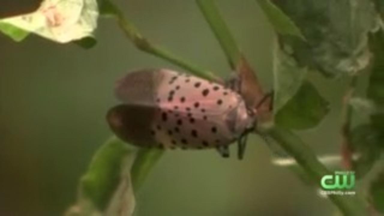 Expect To See Even More Spotted Lanternflies This Summer