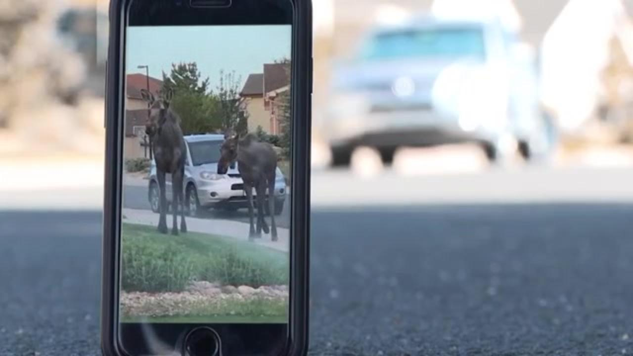 Young moose spotted strolling through Colorado neighborhood