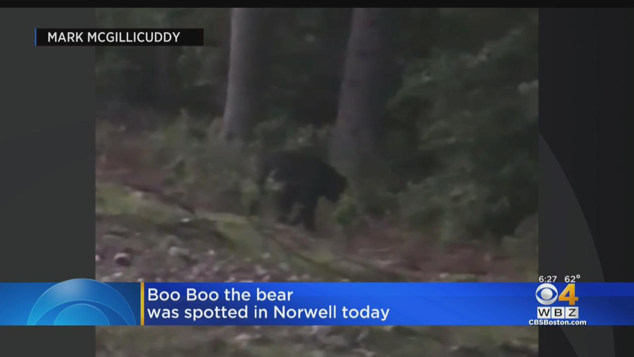 'Boo Boo' The Black Bear Spotted In Norwell On Friday