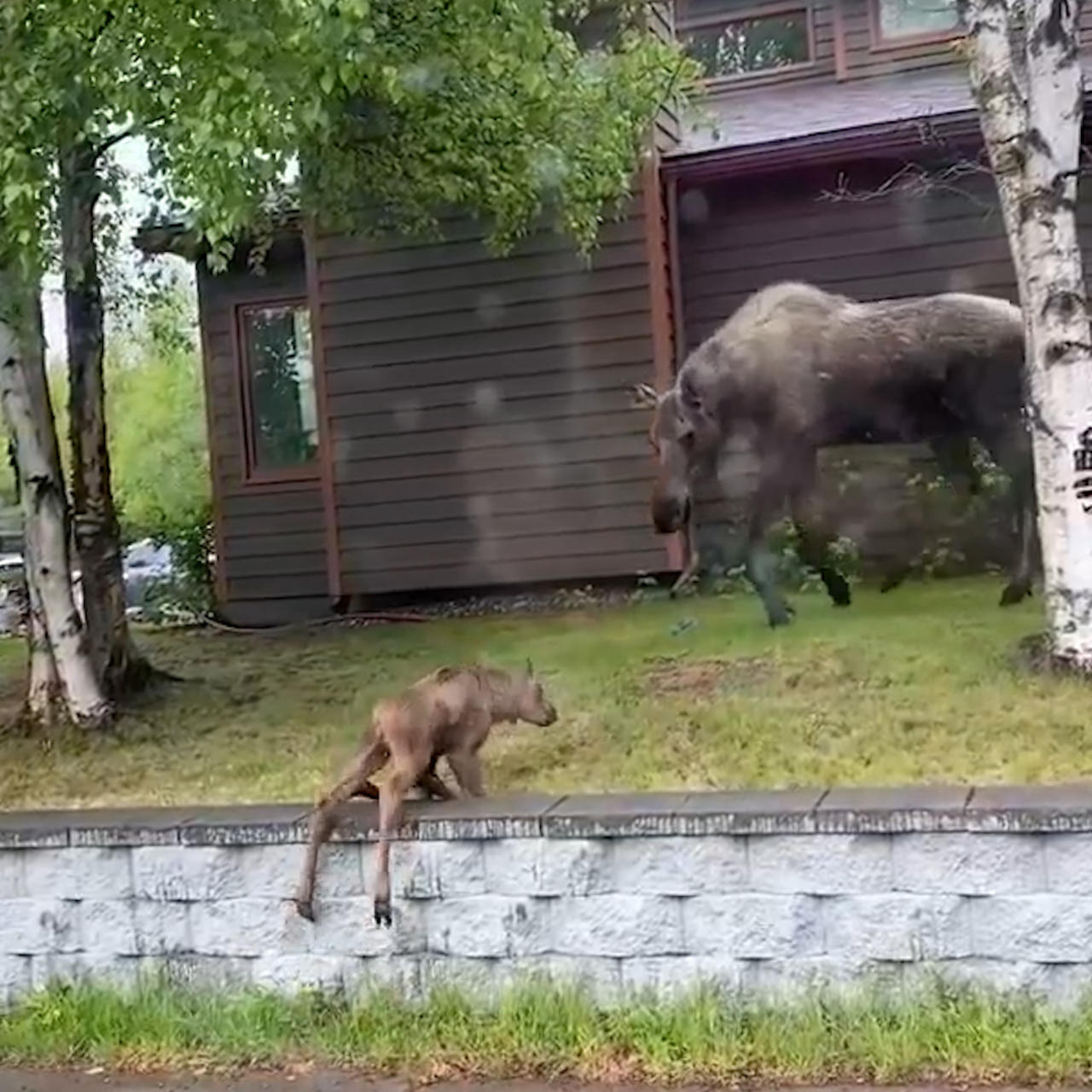 Baby moose can't hop over wall like his mom