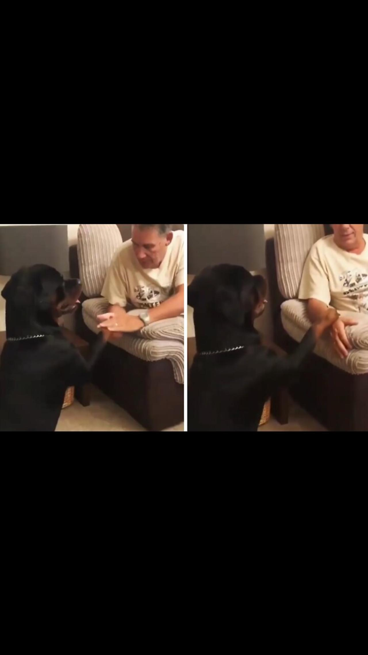 Sweet Rottweiler demands more attention from owner