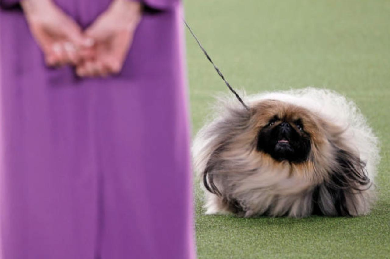 Wasabi the Pekingese Named Best in Show at Westminster Dog Show