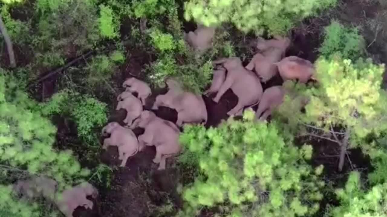 Drone footage captures China's trekking elephant herd taking another rest