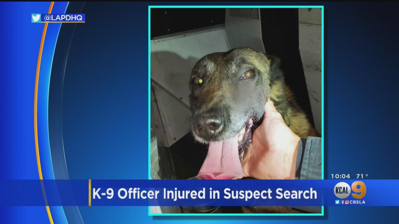LAPD K-9 'Iggy' Wounded While Apprehending Armed Suspect