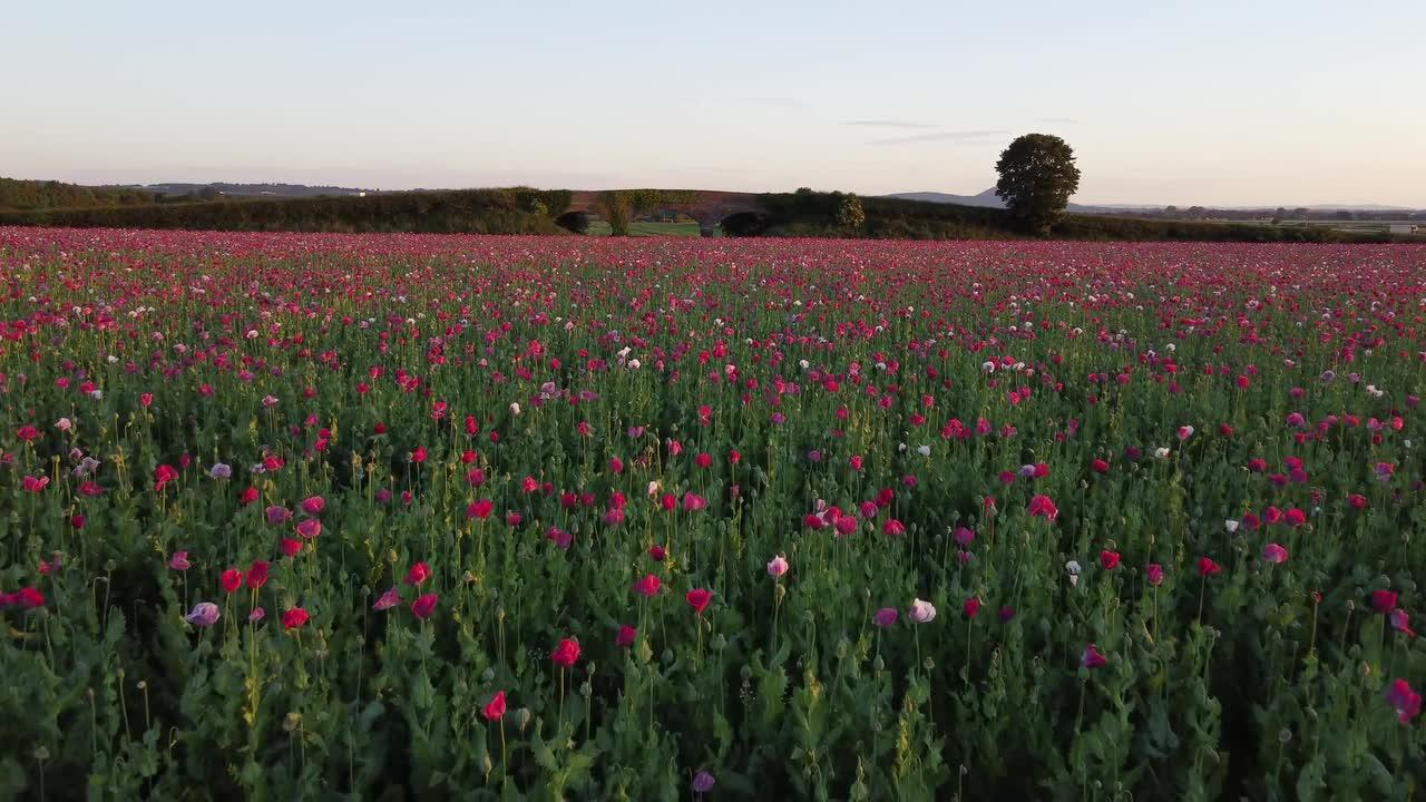 Glorious field of poppies glowing under a setting sun in Shropshire, England