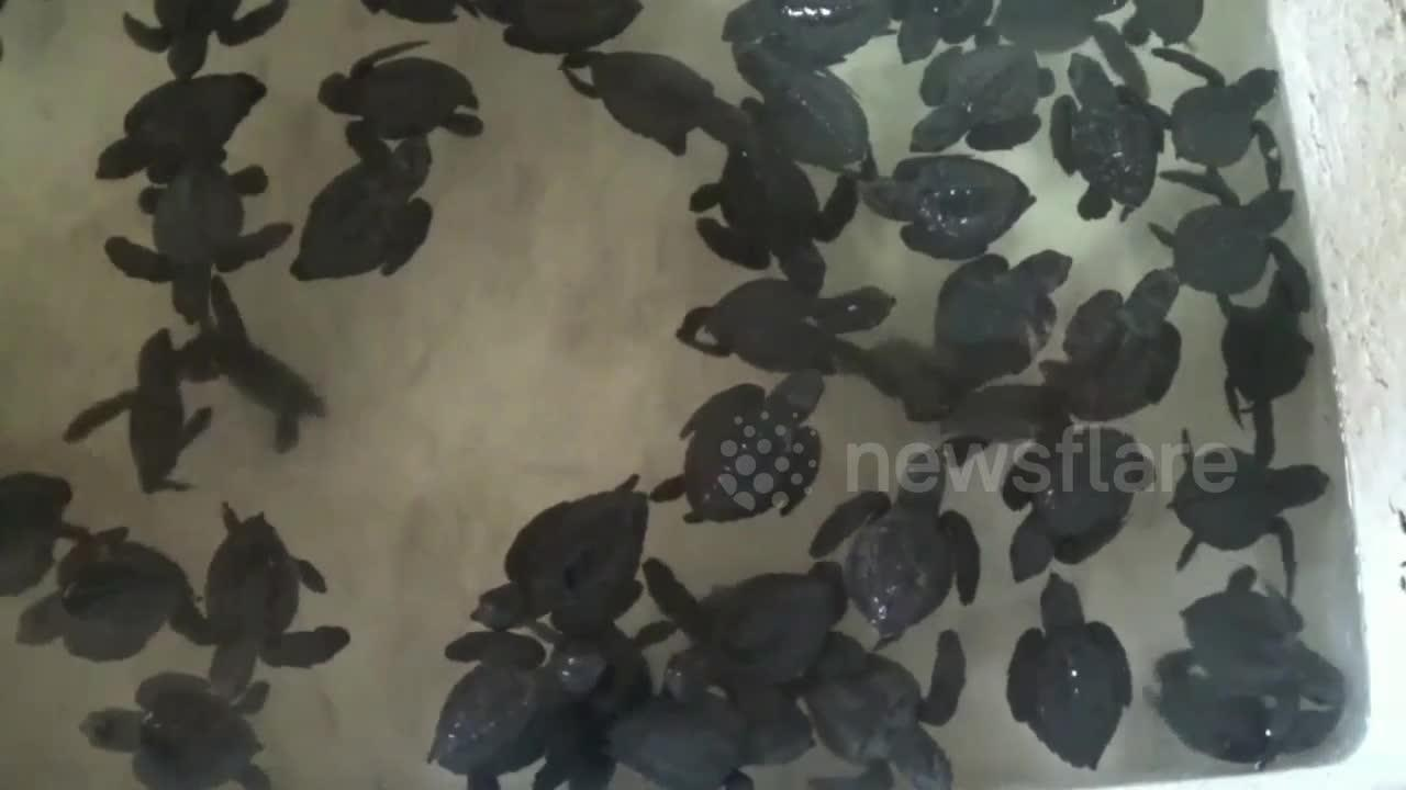 World Turtle Day 2021: Hundreds of sea turtle hatchlings released into Indonesian seas