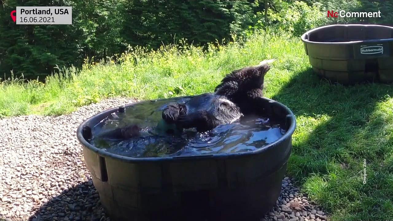 Oregon Zoo's black bear Takoda enjoys refreshing pool dip during hot summer's day