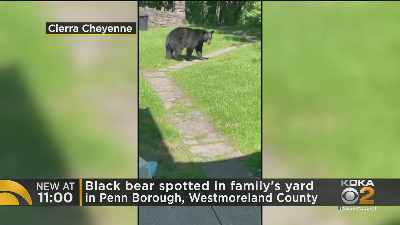Black Bear Spotted In Penn Borough