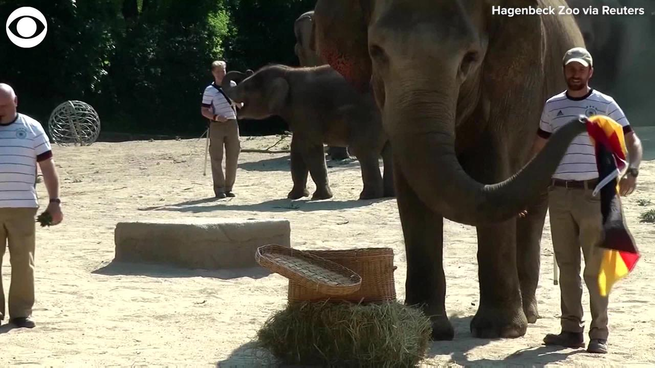 WEB EXTRA: Elephant Predicts Winner Of Soccer Game