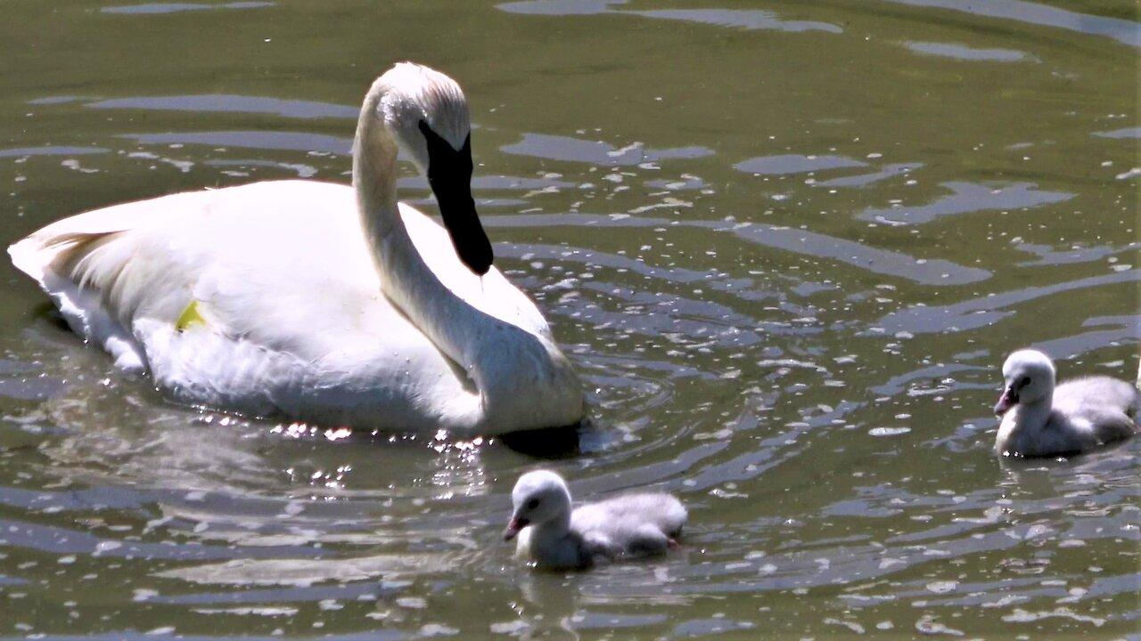 Swan parents teach young how to stir up food in the pond