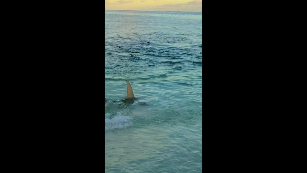 Nail-biting moment baby eagle ray fights for survival against much larger shark