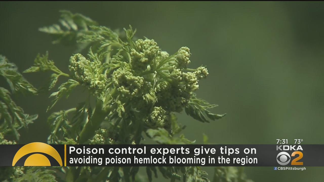 Experts Give Tips On Avoiding Poison Hemlock