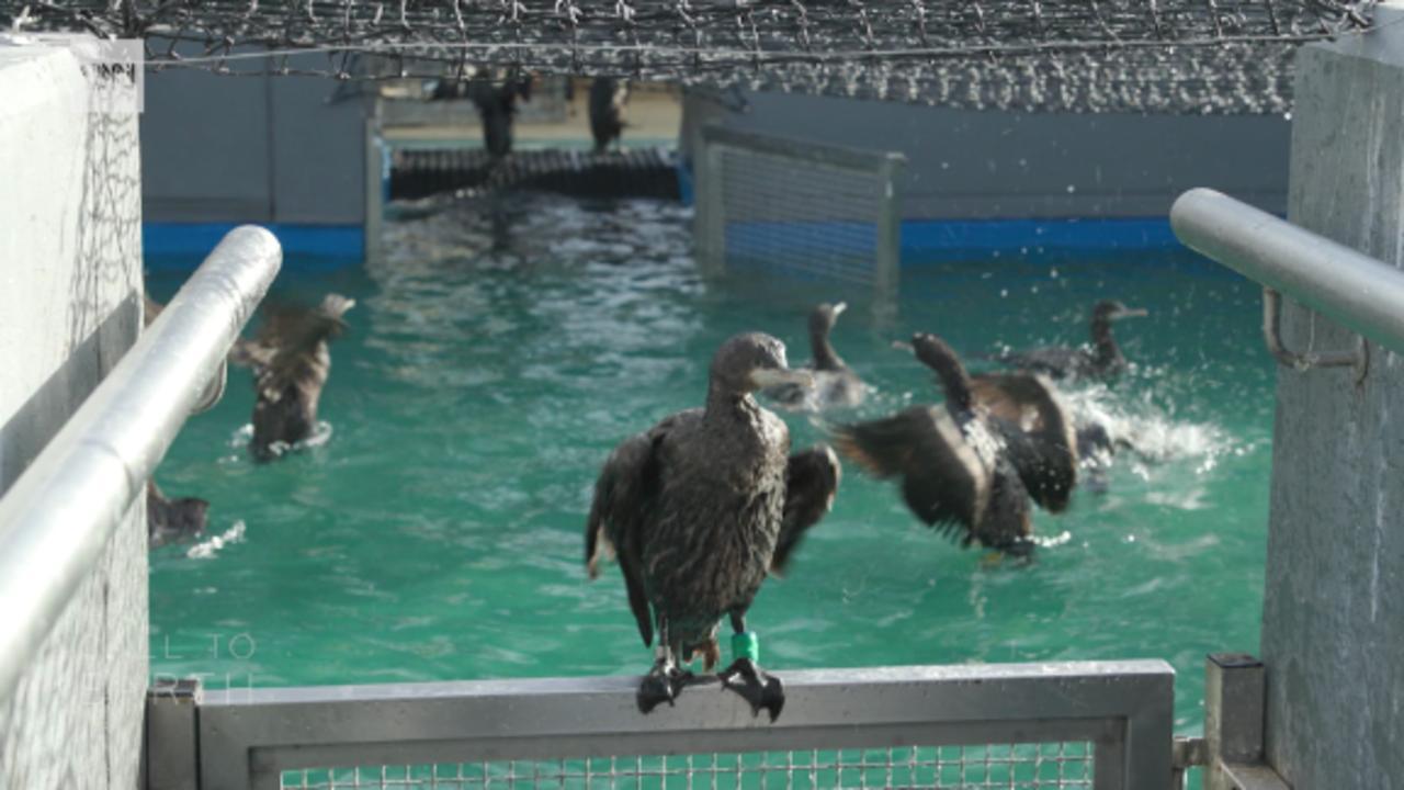 The Cape cormorant rescue mission on Robben Island
