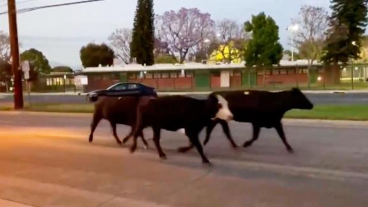 Cows escape meat packing plant and run loose in California city