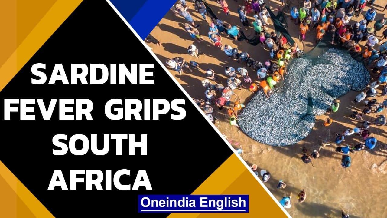Sardine fever: Shoal of fish loks like oil spill, fishermen rush to catch | Oneindia News