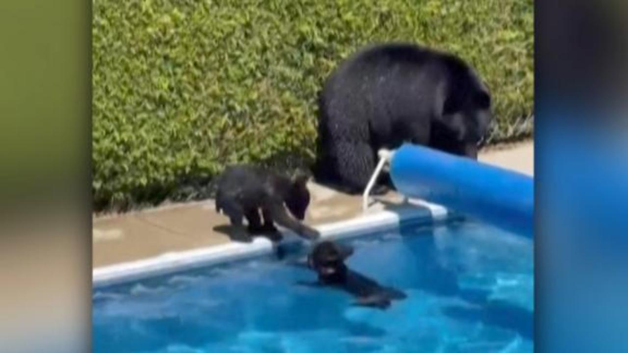 Watch bears take a dip as temperatures soar